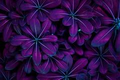Effetto di fondo ultravioletto fatto delle foglie fresche immagini stock