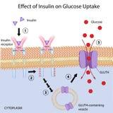 Effetto di insulina sull'assorbimento del glucosio Immagine Stock