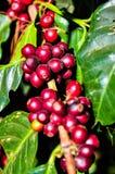 Effetto di luce solare sui chicchi di caffè rossi sul ramo di albero immagini stock libere da diritti