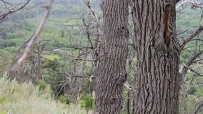Effetto di parallasse del movimento della macchina fotografica sul cursore Tronchi di albero asciutti degli alberi morti nella fo archivi video