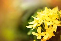 Effetto dolce e morbido del fiore giallo di ixora del fuoco di luce solare Fotografia Stock Libera da Diritti