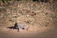 Effetto malato indigeno smarrito di lebbra del cane del Nepal sulla malattia della pelle che si trova sul pavimento fotografia stock
