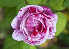 Effetto marmorizzato Rosa Fotografie Stock Libere da Diritti