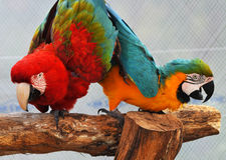 Effettuazione dei pappagalli del Macaw Immagine Stock