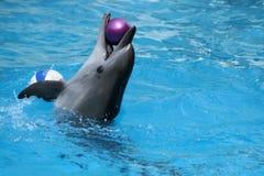 Effettuazione del delfino Fotografia Stock