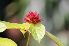 Efflorescence av Exora blommor Arkivbild