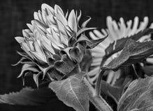 Efflorescentiezonnebloemen Stock Afbeelding