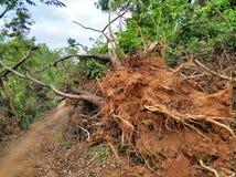 Effondrement d'arbre après ouragan image stock
