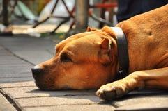 Effondrement de chien terrier de pitbull de Brown Image libre de droits