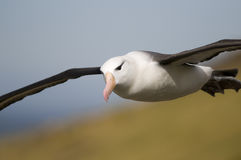 Effortless Flight. A close-up of a Black-browed Albatross in flight - Falklands Stock Photography