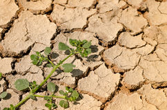 The efforts of plants. Is growing on the land amid the drought Royalty Free Stock Images