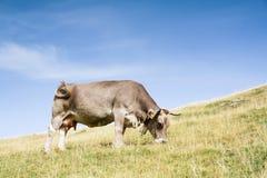 Effrayez le pâturage dans la vallée du Hecho photographie stock libre de droits