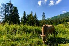 Effrayez le pâturage dans une herbe grande près de la forêt photographie stock libre de droits