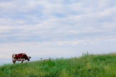 Effrayez le pâturage sur l'herbe verte sous le ciel bleu image stock