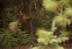 Effrayez les élans dans la forêt photo libre de droits