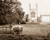 Effrayez les bétail s'éraflant les Rois College Chapel, ton de sépia images stock