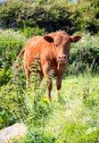 Effrayez mâcher le ruminage dans le looe les Cornouailles R-U Angleterre photographie stock libre de droits