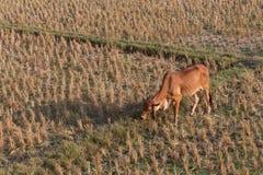 Effrayez manger l'herbe dans le domaine de riz de l'agriculture de ferme photographie stock libre de droits