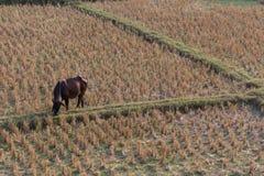 Effrayez manger l'herbe dans le domaine de riz de l'agriculture de ferme image libre de droits