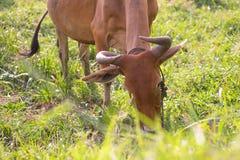 Effrayez manger l'herbe fraîche dans le domaine d'herbe dans le matin Bétail organiques Images stock