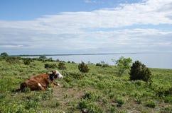 Effrayez observer la vue à des pâturages côtiers calmes photo libre de droits