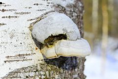 Effused or resupinate fruit bodies typically consist of two layers - a tube layer of vertically arranged tubes that open downward. Polypores are a group of fungi royalty free stock photos
