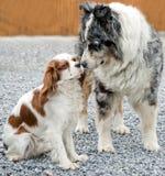 Effusioni in cani Fotografia Stock Libera da Diritti