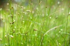 Effusus branchu de floraison L de Juncus de jonc Images libres de droits