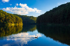 Eflection de pin et de ciel bleu avec l'oie Image stock