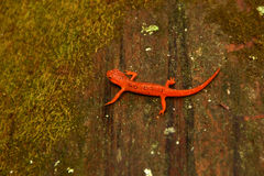 Eft salamander on mossy log Stock Photography