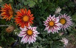 Efter regnet min trädgårds- blomma royaltyfria foton