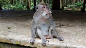 Efterapa sammanträde i tempel i apaskogen, Ubud, Bali, Indonesien arkivfoto