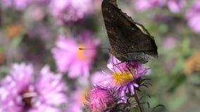 eftermiddagfjärilen blommar den naturliga grässlätten sent stock video