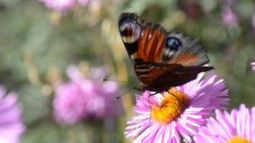 eftermiddagfjärilen blommar den naturliga grässlätten sent lager videofilmer