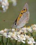 eftermiddagfjärilen blommar den naturliga grässlätten sent fotografering för bildbyråer