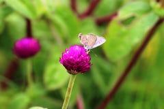 eftermiddagfjärilen blommar den naturliga grässlätten sent Royaltyfri Bild
