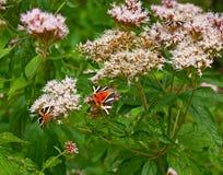 eftermiddagfjärilen blommar den naturliga grässlätten sent Arkivfoto