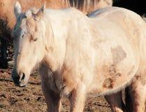 Eftersatt, missbrukad och sårad häst fotografering för bildbyråer