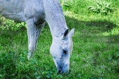 Eftersatt, missbrukad sårad häst arkivbild