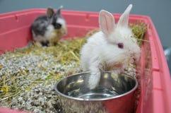 Eftersatta och sjuka unga kaniner med övrerespiratorisk infektion på en veterinär- klinik royaltyfri foto