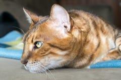 Eftertänksam Bengal katt Arkivfoton