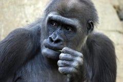 eftertänksam gorilla Arkivbild