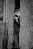 Eftertänksam katt (det svartvita fotoet) Royaltyfria Foton