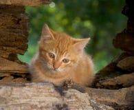 eftertänksam kattunge Arkivbild