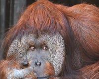 eftertänksam orangutan Arkivbilder