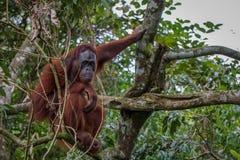 Eftertänksamt orangutangsammanträde i träd arkivfoto
