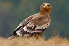 Egale sitting in the grass. Bird in forest. Steppe Eagle, Aquila nipalensis, sitting in the grass on meadow, forest in background. Egale sitting in the grass Royalty Free Stock Photos