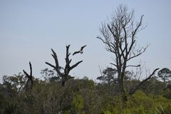 The Egans Creek Greenway includes many osprey who ply the waterways stock images