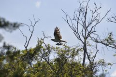 A Egans Creek Greenway Osprey flies back to her nest with a freshly caught fish