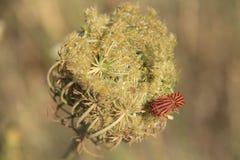 Egeïsch - liefde van insect op de bloem stock foto's